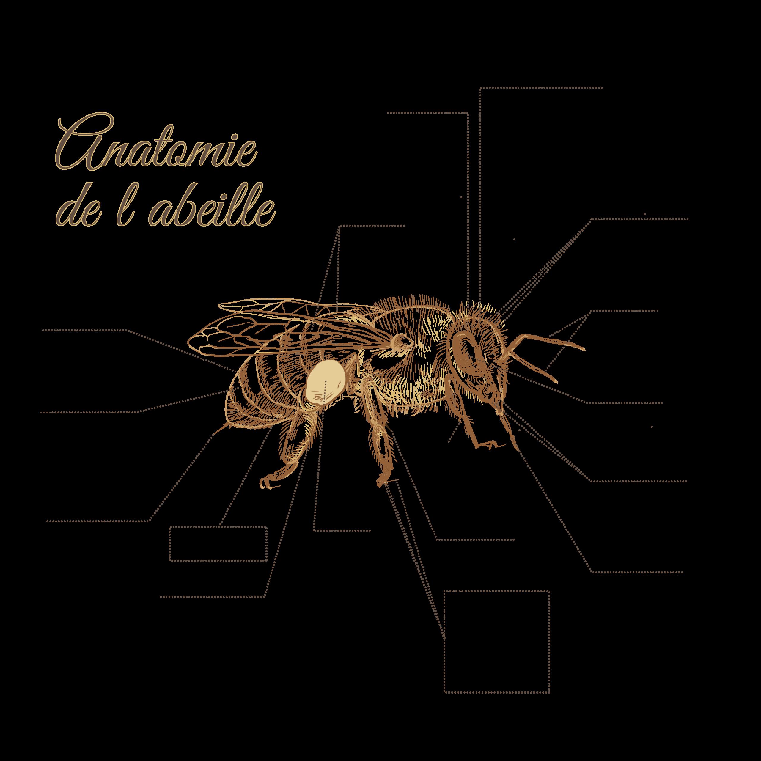 anatomieabeilles